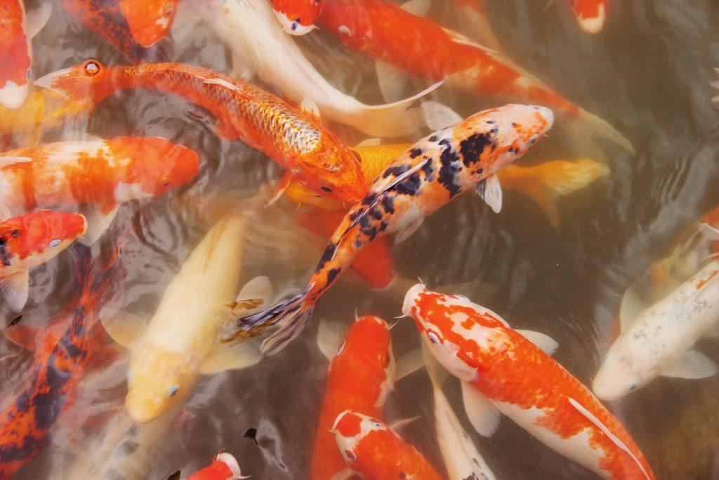 Investors are willing to pay high prices for certain species of Koi fish. (Source)