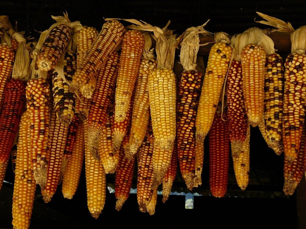 US corn acreage 4 million acres shorter this year, South American crops ready for harvest