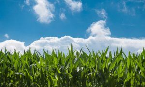 Flooding and cold soils are threatening the corn production