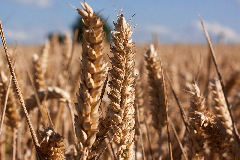 Why wheat planting in Canada has been delayed