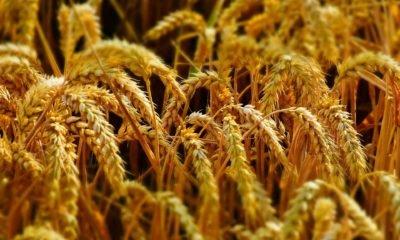 grain markets