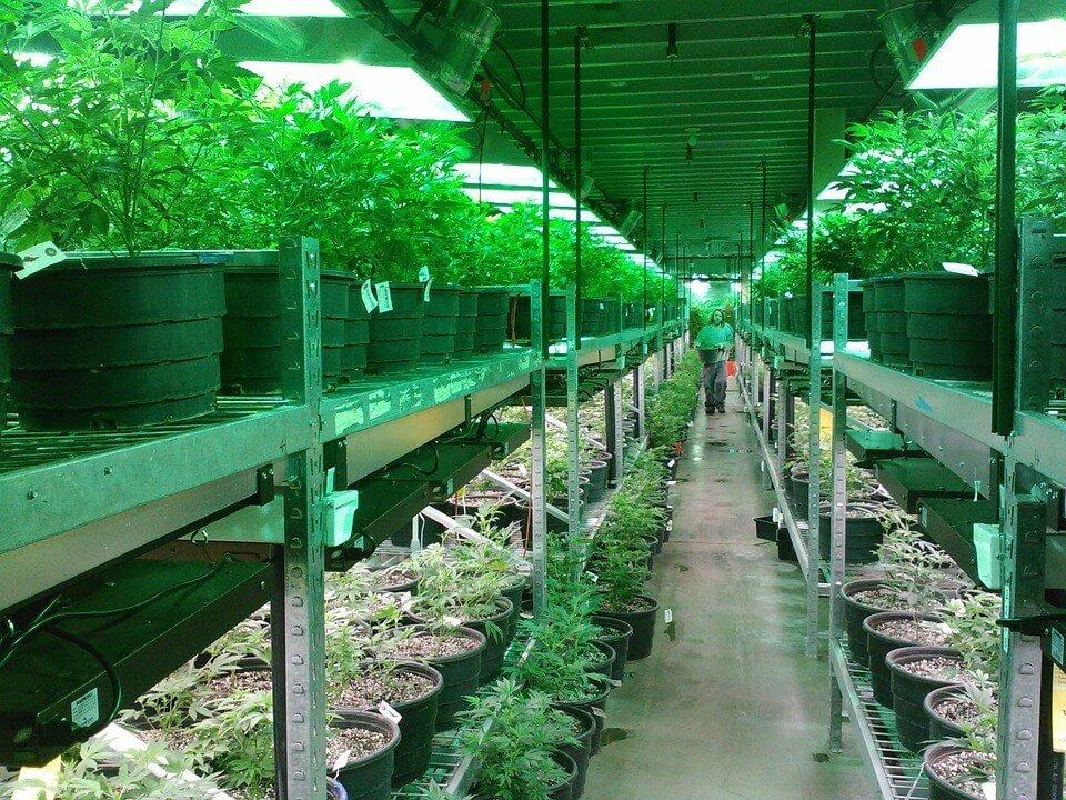 Marijuana cultivation.