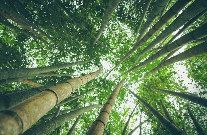Chinese residents at Beijing are looking into the use of bamboo as a potential source of renewable energy.
