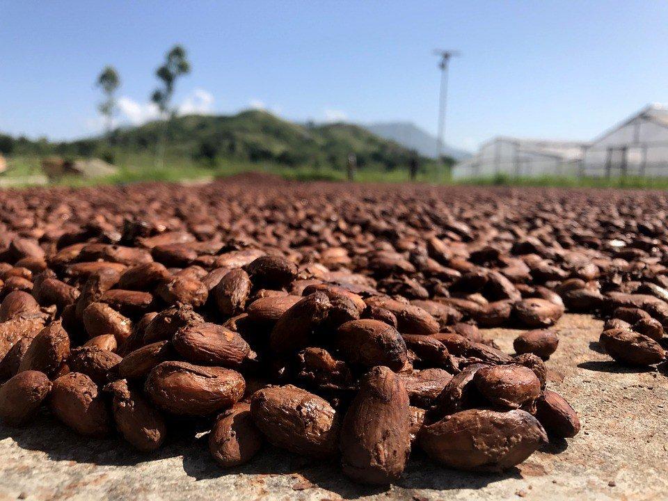 Cocoa beans Ivory Coast
