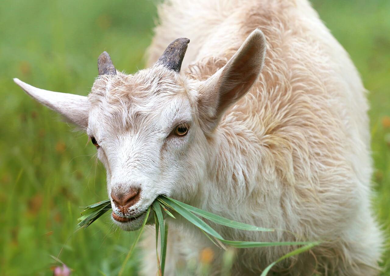Kerala goat