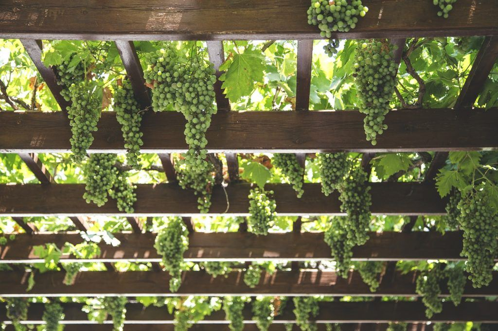 This picture shows many AMC grapes hanging from the ceiling.