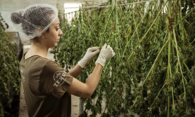 This picture show a person working on the cannabis industry.