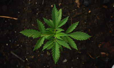 This picture show a cannabis plant.