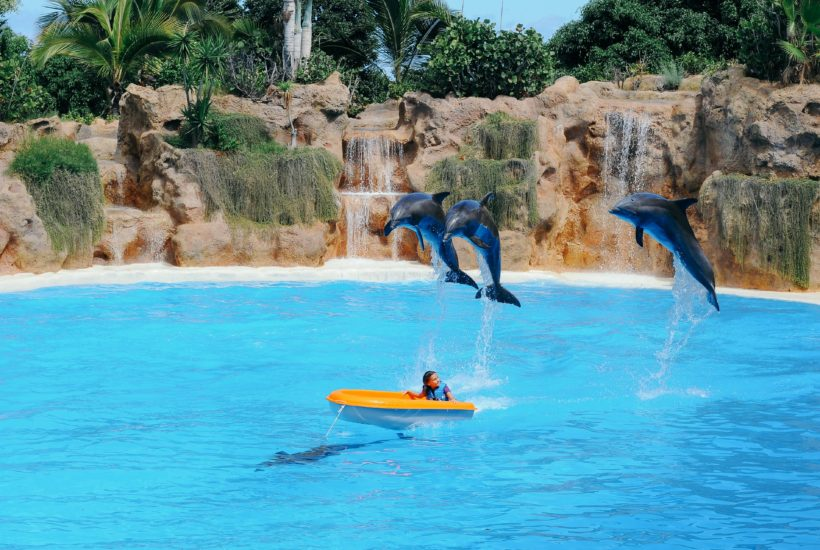 This picture show a group of dolphins jumping.