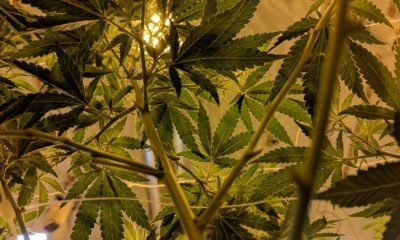This picture shows a cannabis plant.