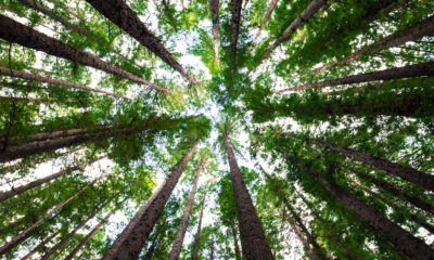 This picture show the treetops from the ground.