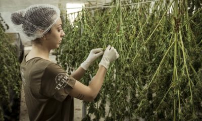 This picture show a person working with cannabis.
