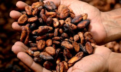 This picture show a person holding some cocoa in his hands.