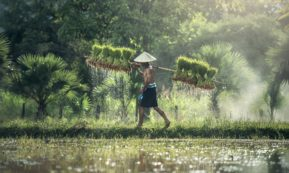 This picture show a person carrying rice.