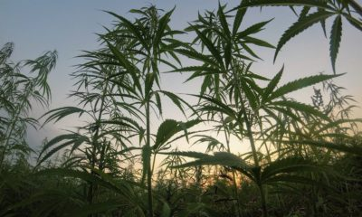 This picture show some cannabis plants.