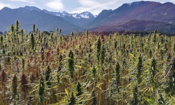 This picture show a hemp field.
