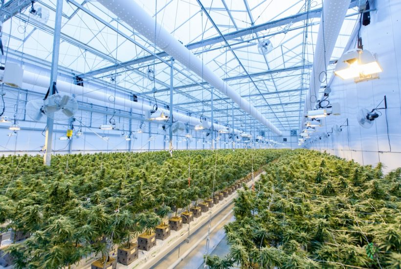 This picture show a cannabis plantation.