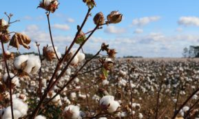This picture show a cotton plant.
