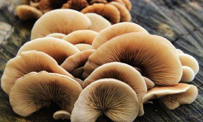 Health marketing for functional mushrooms and adaptogens like reishi